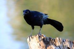 Pájaro negro en un tocón de árbol Imagen de archivo libre de regalías