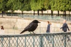 Pájaro negro en una rejilla en un jardín Foto de archivo libre de regalías