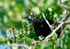 Pájaro negro grande que oculta en arbusto fotos de archivo libres de regalías
