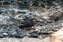 Pájaro negro hermoso con el pico rojo Imagenes de archivo