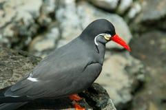 Pájaro negro hermoso con el pico rojo Foto de archivo libre de regalías