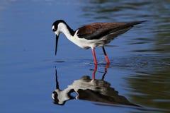 pájaro Negro-necked del zanco Foto de archivo libre de regalías