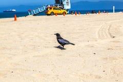 Pájaro negro que camina a lo largo de la playa arenosa Fotografía de archivo