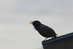 Pájaro negro silueteado contra un cielo nublado Foto de archivo libre de regalías