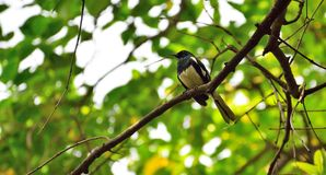 Pájaro negro y blanco poco en la rama deshojada fotografía de archivo