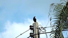 Pájaro, nombres pájaro común de Myna o de Sturndae que se coloca y que canta en la iluminación del polo eléctrico almacen de metraje de vídeo