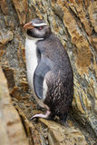 Pájaro Nueva Zelanda del pingüino Foto de archivo