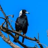 Pájaro orgulloso de la urraca australiana en el árbol delante del cielo azul claro