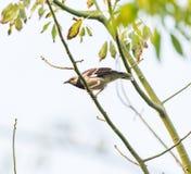 Pájaro oriental del Urraca-petirrojo en el árbol Imagenes de archivo