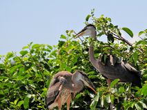 Pájaro, pájaros jovenes de la garza de gran azul en humedal Foto de archivo