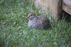 Pájaro - paloma de luto Fotos de archivo