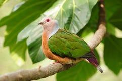 Pájaro --- Paloma imperial de Pinon Imagen de archivo libre de regalías