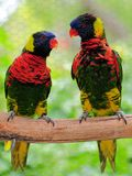 Pájaro, par de Lorikeet Imagenes de archivo