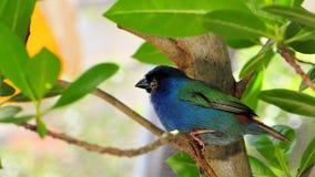 Pájaro, parrotfinch azul-hecho frente Fotografía de archivo