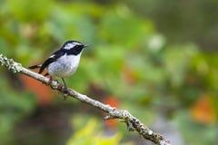 Pájaro: Pequeño cazamoscas de varios colores Imagenes de archivo