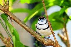 Pájaro, pinzón de Bichenos en la rama, la Florida Fotos de archivo