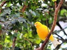 Pájaro, pinzón del azafrán (Sicalis) Imagen de archivo