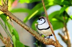 Pájaro, pinzón del búho en la rama de árbol, la Florida Imagen de archivo libre de regalías