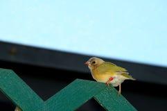 Pájaro, pinzón joven Fotografía de archivo