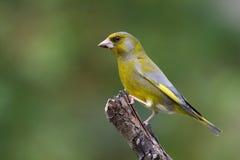 Pájaro - pinzón verde (chloris del Carduelis) Imagen de archivo