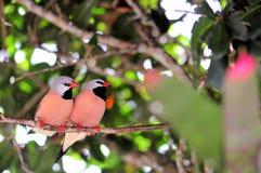 Pájaro, pinzones de cola larga Imágenes de archivo libres de regalías