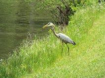 Pájaro por el agua Fotos de archivo