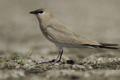 Pájaro Pratincole Imagen de archivo libre de regalías