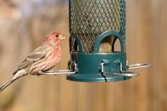 Pájaro que alimenta en el alimentador del patio trasero Fotos de archivo