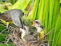 Pájaro que alimenta los polluelos jovenes Imagen de archivo
