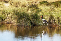 Pájaro que camina en un lago Imagen de archivo