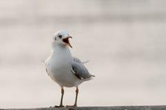 Pájaro que canta en el carril del puente Fotografía de archivo