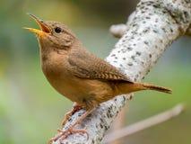 Pájaro que canta en una rama Fotos de archivo