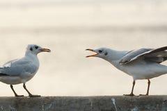Pájaro que canta para rechazar otro Fotos de archivo