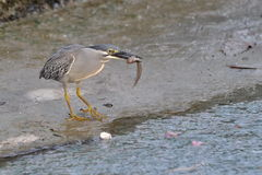 Pájaro que coge su presa Imagen de archivo