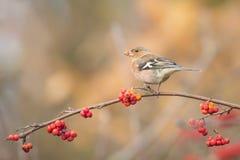 Pájaro que come bayas durante otoño Fotos de archivo