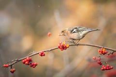 Pájaro que come bayas durante otoño Imagenes de archivo