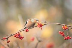 Pájaro que come bayas durante otoño Foto de archivo