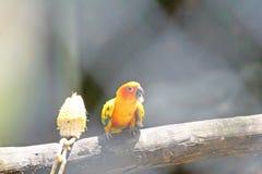 Pájaro que come el maíz crudo, conure del sol fotografía de archivo libre de regalías