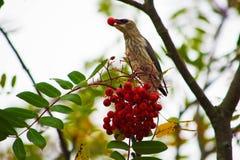Pájaro que come una baya Imagenes de archivo