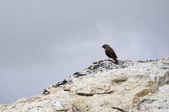 Pájaro que el nemoricola Himalayan de Leucostic del pinzón se sienta en una montaña Foto de archivo libre de regalías