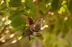 Pájaro que imita Fotos de archivo