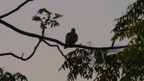 Pájaro que limpia sus plumas en una tarde del árbol de la primavera metrajes