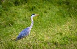 Pájaro que mira hacia fuera para un poco de comida dentro de la hierba fotos de archivo