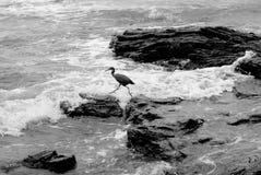 Pájaro que salta a partir de una roca a otra fotos de archivo
