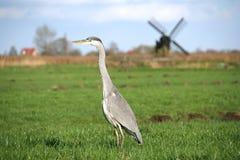 Pájaro que se coloca delante de un molino de viento en Amsterdam. Imagen de archivo