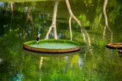 Pájaro que se coloca en la hoja del loto Fotografía de archivo