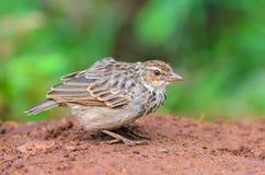 Pájaro que se coloca en la tierra Imagen de archivo libre de regalías