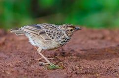 Pájaro que se coloca en la tierra Foto de archivo libre de regalías