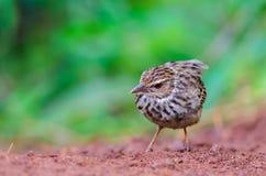 Pájaro que se coloca en la tierra Fotografía de archivo