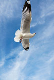 Pájaro que se desliza en el cielo azul Imagen de archivo